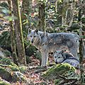 Ariège- maison des loups-orlu-loups canadiens