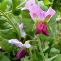 Une curiosité.....les petits pois violet