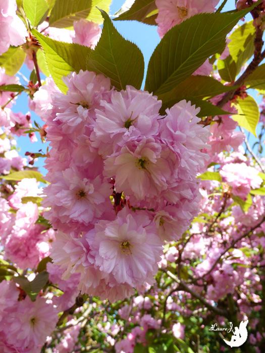 cerisier du japon Kanzan 10