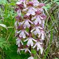 orchidée de Mirabel