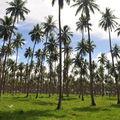 La plus grande plantation de cocotiers se trouvent sur Malekula