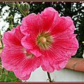 Rose trémière 160715