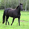QUALITY ROCKY MOUNTAIN HORSES FOR SALE
