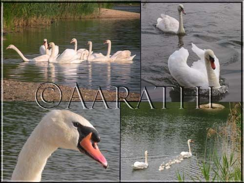 Swan / Cygne , Etang du Corra.