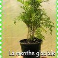 menthe_glaciale_diaporama