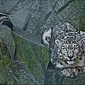 léopard des neiges - Copie