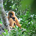 <b>Gibbon</b> de Hainan : nouveau plan d'actions pour sauver l'un des plus rares primates au monde