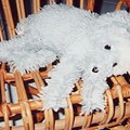 chien en laine