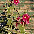 24-10-11 Les roses trémière