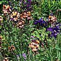 Erysimum linifolium 'super bowl sunset' et aquilegia vulgaris