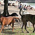 Les chiens à l'ile maurice