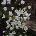 2009 06 16 Campanule Persifolia