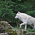 Parc animalier de Sainte-Croix - Loup blanc