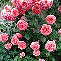 L'effet de masse magnifique du <b>rosier</b> <b>grimpant</b> Kimono