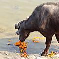 <b>nouvel</b> <b>an</b> <b>chinois</b> - buffles à Varanasi