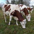 2009 10 26 Les vaches qui mangent l'herbe