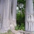Pieds de baobab