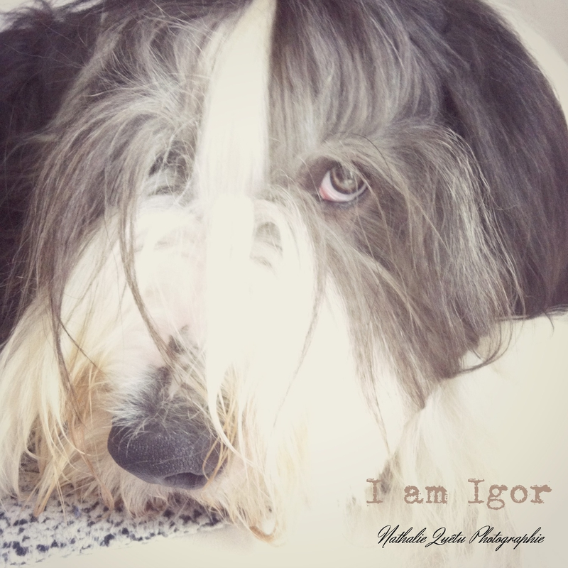 Igor Bearded Collie L'Atelier de Framboise Chocolat