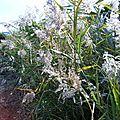 Roseaux Végétation méditerranéenne Peyrolles en Provence