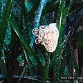 Anémone alicie (alicia mirabilis)