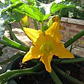 COURGETTE 20