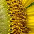 2008 07 21 Un zoom sur une fleur de tournesol