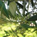 IMG_4256 futues olives
