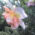Rosier de mon jardin