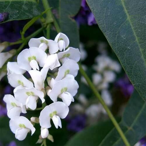 Hardenbergia violacea alba (eBay)