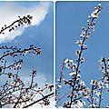 Fleurs de prunier, encore et toujours...
