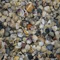 PLage du Lido, près de Venise. Par endroits, les coquillages se substituent au sable...