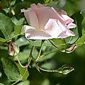Rose Sandrine 10
