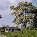 Poirier, St Martin du Vivier, mai 2006
