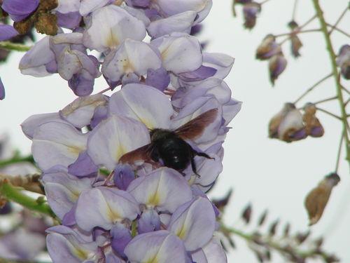 2008 05 18 Un un xylocope qui butine des fleurs de glucine