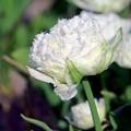 Tulipe double frangée