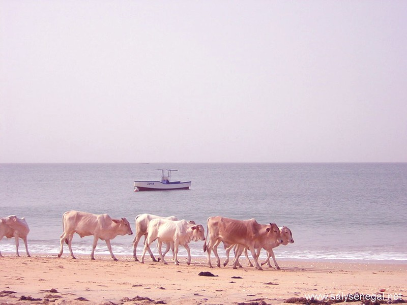 plage vaches