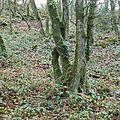 Forêt de brocéliande - arbres enlacés