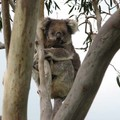Mon koala en liberté, il est pas mignon ?