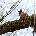 Ecureuil roux (3)