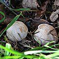 Mousserons rondelets dans l'herbe tendre...