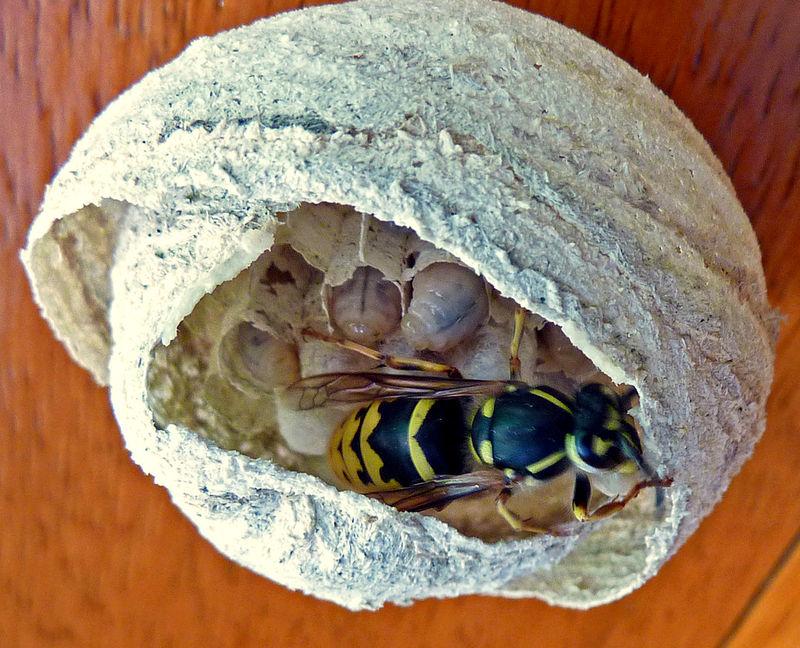 guêpe : jeune reine dans son nid soignant ses larves dodues