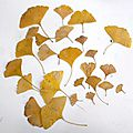 New creation of the serie of gingko biloba's leaves.