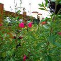 Salvia microphylla 'grahamii'