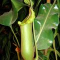 népenthes