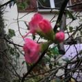 Il fleurit en plein mois de décembre !