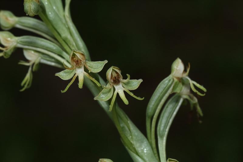 Habenaria longipedicellata