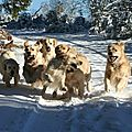 les goldens retrievers d'escolore