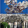 Cherry blossom Seattle