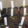 2009 04 01 Quelques plants de tomates, sous serre depuis un jour