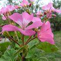 2009 09 01 Macro sur des fleurs de géranium